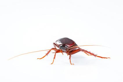 Kakerlake: kanarischer Maikäfer