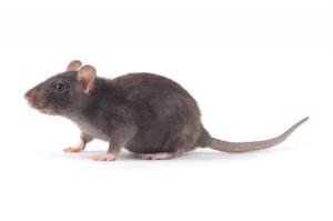 Ratte - Schadnager
